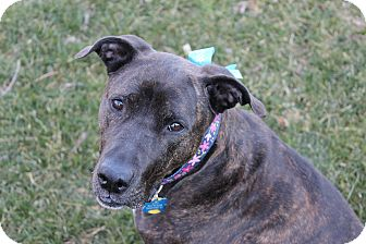 Pit Bull Terrier Mix Dog for adoption in Louisville, Kentucky - Lilly