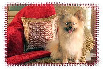 Pomeranian Dog for adoption in Dallas, Texas - Cowboy
