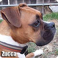 Adopt A Pet :: Zucca - Encino, CA