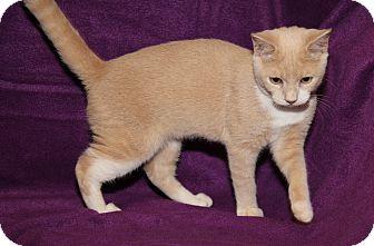 Domestic Shorthair Cat for adoption in Marietta, Ohio - CoffeeMate (Neutered)