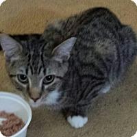 Domestic Shorthair Cat for adoption in Baltimore, Maryland - Hannah (Splash)