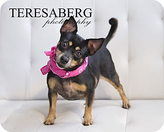 Manchester Terrier/Chihuahua Mix Dog for adoption in Terrell, Texas - Sally