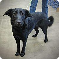 Adopt A Pet :: Char - West Richland, WA