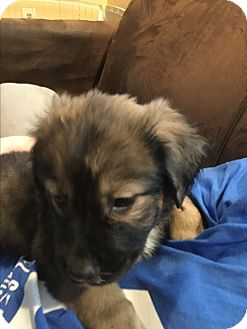 Labrador Retriever/Shepherd (Unknown Type) Mix Puppy for adoption in Patterson, New York - Cinnamon