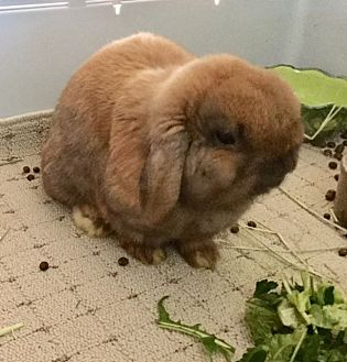 Lop, Holland Mix for adoption in Waynesboro, Virginia - Roger