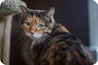 Domestic Shorthair Cat for adoption in Algonquin, Illinois - Lilly