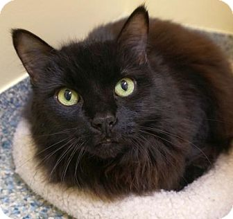 Domestic Longhair Cat for adoption in Verona, Wisconsin - Aggie and Hercule - bonded pair