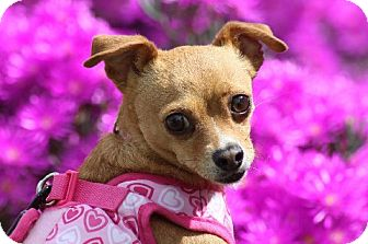 Chihuahua Mix Dog for adoption in Irvine, California - BALLERINA