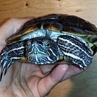 Adopt A Pet :: Pickett - Pefferlaw, ON