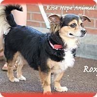Adopt A Pet :: Roxy - Waterbury, CT