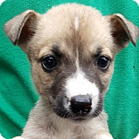 Siberian Husky Mix Puppy for adoption in Colonial Heights, Virginia - Jipsy