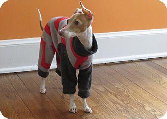 Italian Greyhound Dog for adoption in Westbury, New York - Luna