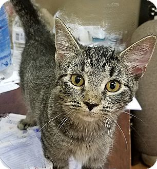Domestic Shorthair Kitten for adoption in Trevose, Pennsylvania - Ainsleigh