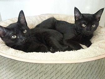 Domestic Shorthair Kitten for adoption in Margate, Florida - Thelma