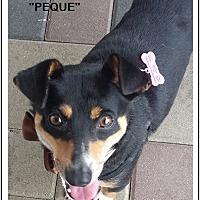 Adopt A Pet :: Peque - El Cajon, CA