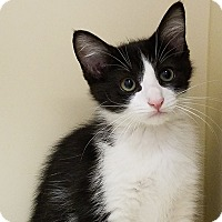 Domestic Shorthair Kitten for adoption in Elyria, Ohio - Dino