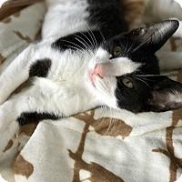 Domestic Shorthair Kitten for adoption in Island Park, New York - Micky