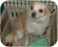 Chihuahua/Papillon Mix Dog for adoption in Las Vegas, Nevada - korbin