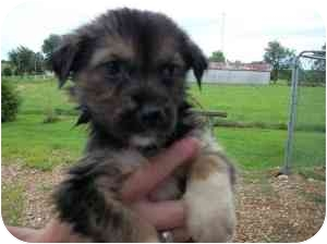 Husky Mix Puppy for adoption in Lonedell, Missouri - Lassiter 8