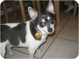 Chihuahua Mix Dog for adoption in Andover, Massachusetts - Charlie-housebroken!