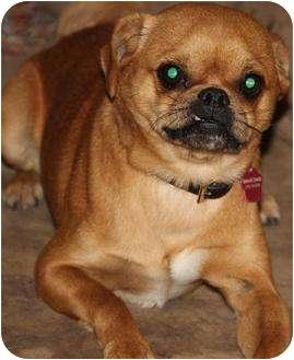 Pug/Beagle Mix Dog for adoption in San Pedro, California - Pugster