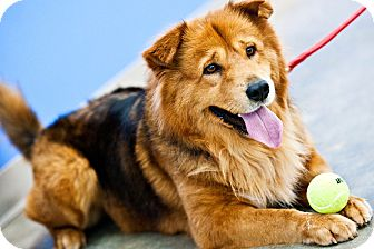 Shepherd (Unknown Type)/Chow Chow Mix Dog for adoption in Houston, Texas - Webster