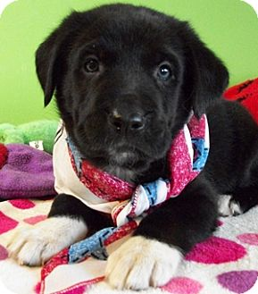 Labrador Retriever/German Shepherd Dog Mix Puppy for adoption in Struthers, Ohio - Pomegranate