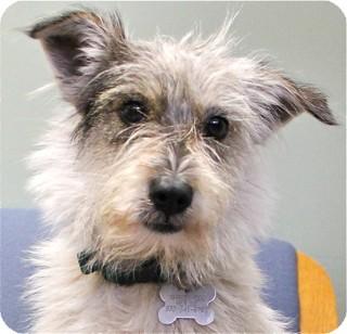 Schnauzer (Miniature) Mix Dog for adoption in Norwalk, Connecticut - Gilda - adoption pending