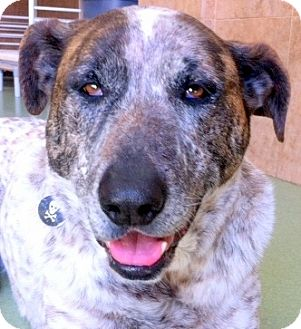 Shepherd (Unknown Type)/Pointer Mix Dog for adoption in Los Angeles, California - Hunter *VIDEO*