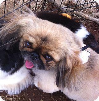 Pekingese Mix Dog for adoption in Oklahoma City, Oklahoma - Henry II