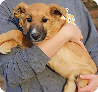 Collie/German Shepherd Dog Mix Puppy for adoption in Stamford, Connecticut - Reese