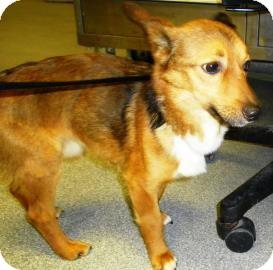 Welsh Corgi/Corgi Mix Dog for adoption in Lincolnton, North Carolina - Goose