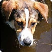 Adopt A Pet :: Banjo - Rigaud, QC