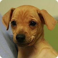 Adopt A Pet :: Wilamina - Canoga Park, CA