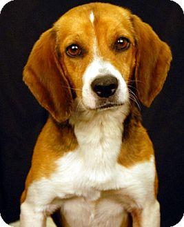 Beagle Dog for adoption in Newland, North Carolina - Peanut