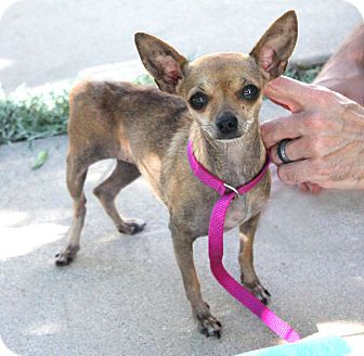 Chihuahua Dog for adoption in Beverly Hills, California - Tiny Lilly