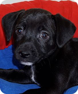 Labrador Retriever/Beagle Mix Puppy for adoption in La Habra Heights, California - Beckham