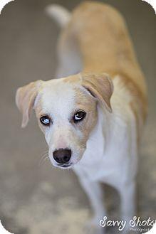 Beagle Mix Puppy for adoption in Greensburg, Pennsylvania - Trinity