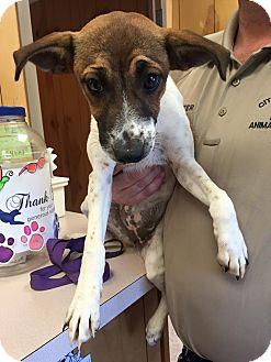Fox Terrier (Smooth)/Labrador Retriever Mix Puppy for adoption in Benton, Arkansas - Lizzy