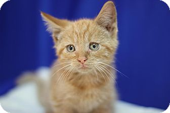 Domestic Shorthair Kitten for adoption in Midland, Michigan - Weaver