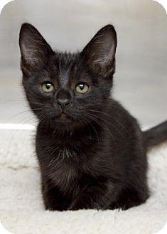 Domestic Shorthair Kitten for adoption in Dublin, California - Denim