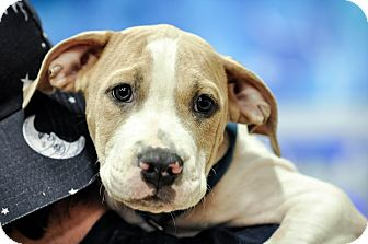 Bulldog/Hound (Unknown Type) Mix Puppy for adoption in Gainesville, Florida - Roy