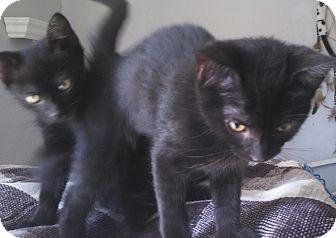 Domestic Shorthair Kitten for adoption in temecula, California - pixy