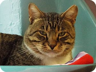 Domestic Shorthair Cat for adoption in Grants Pass, Oregon - Tommy Boy