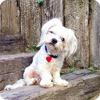Poodle (Miniature)/Schnauzer (Miniature) Mix Dog for adoption in Los Angeles, California - Todd Tenenbaum