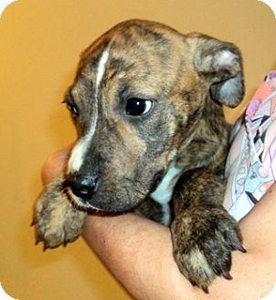 American Pit Bull Terrier Puppy for adoption in Bloomington, Illinois - Blitzen