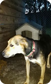 Shepherd (Unknown Type)/Labrador Retriever Mix Dog for adoption in springtown, Texas - Roxie