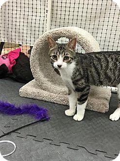 Domestic Shorthair Cat for adoption in Alexandria, Virginia - Ms. Meowski