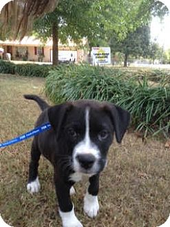 Labrador Retriever/American Pit Bull Terrier Mix Puppy for adoption in Marietta, Georgia - Champion