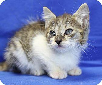 Domestic Shorthair Cat for adoption in Winston-Salem, North Carolina - Champ